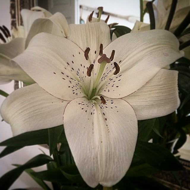 Speckled lilies. Fresh flowers in the house every day since the commencement of #yearoflivingdangerously