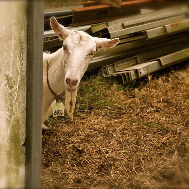 You're kidding, right? #goat #goatmilk  #goatcheese #sunshinecoast @malenycheese